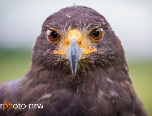 Der Greifvogel und das Tierfoto