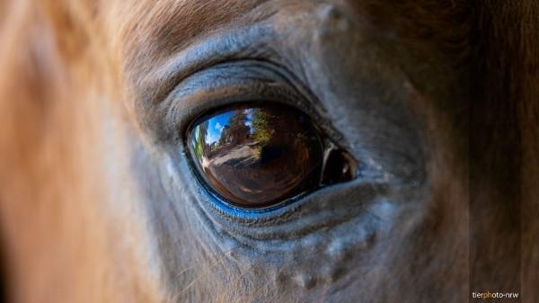 Auge des Pferdes