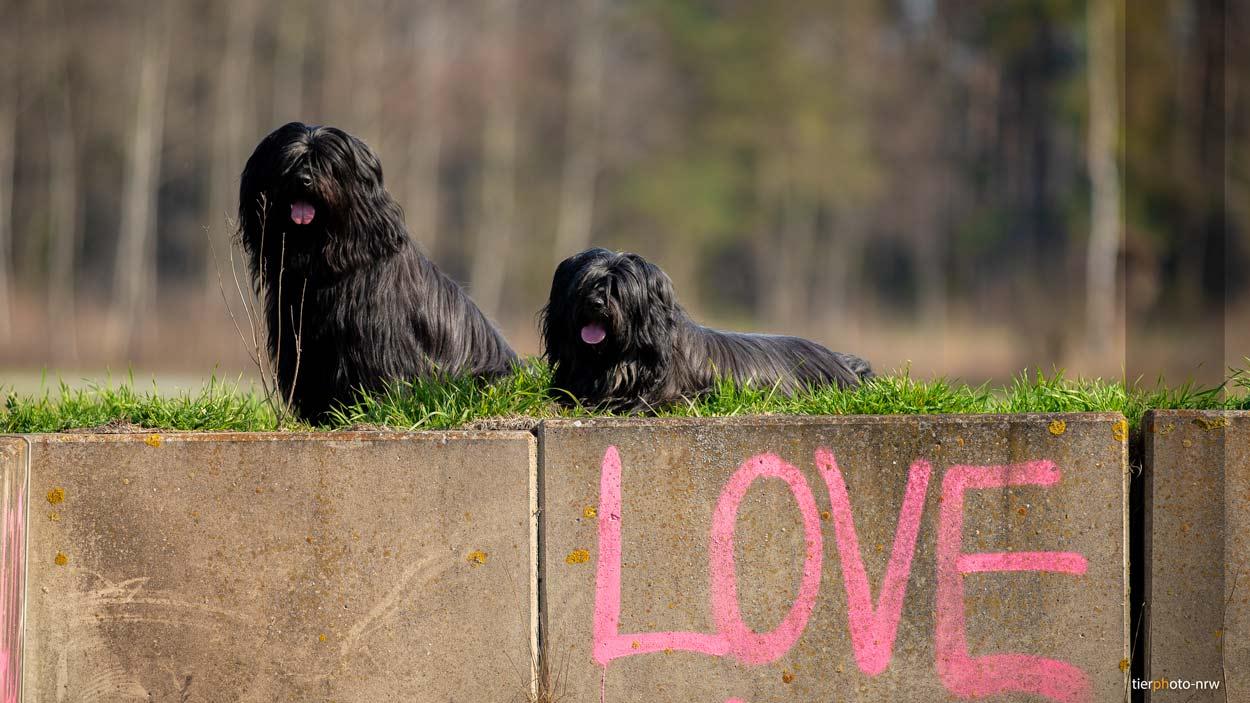 Hunde auf Mauer