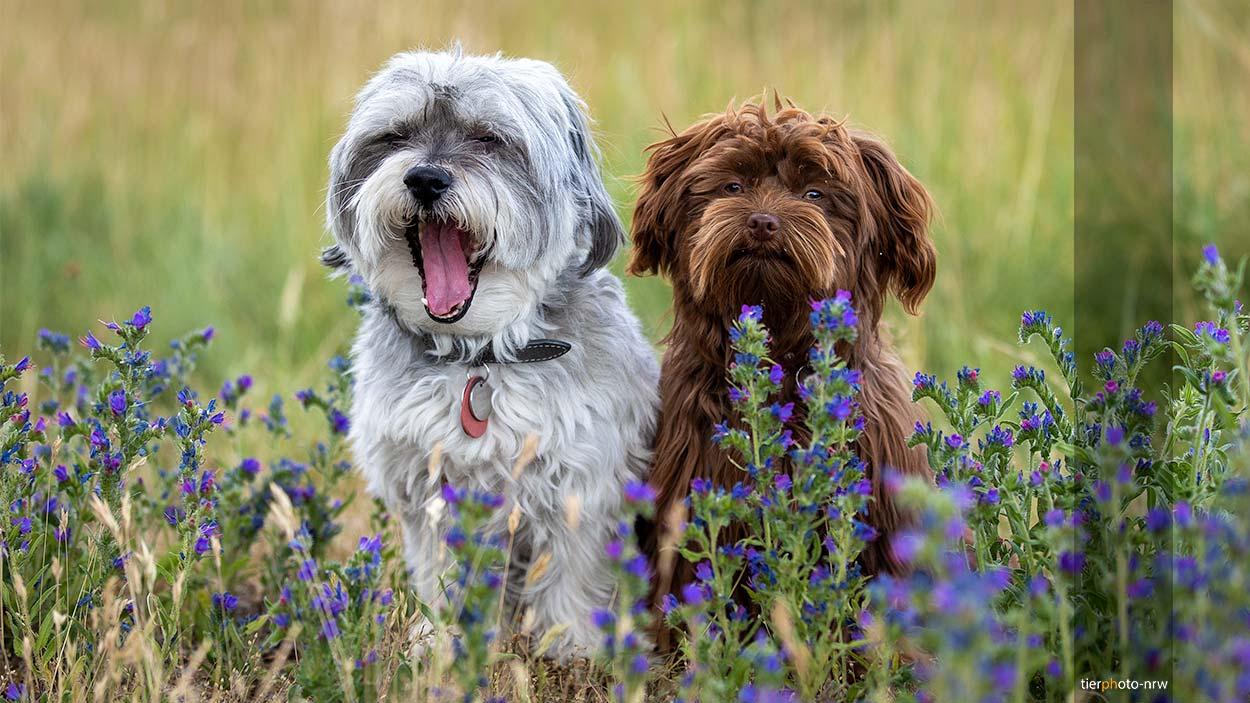 zwei kleine Hunde im Gras