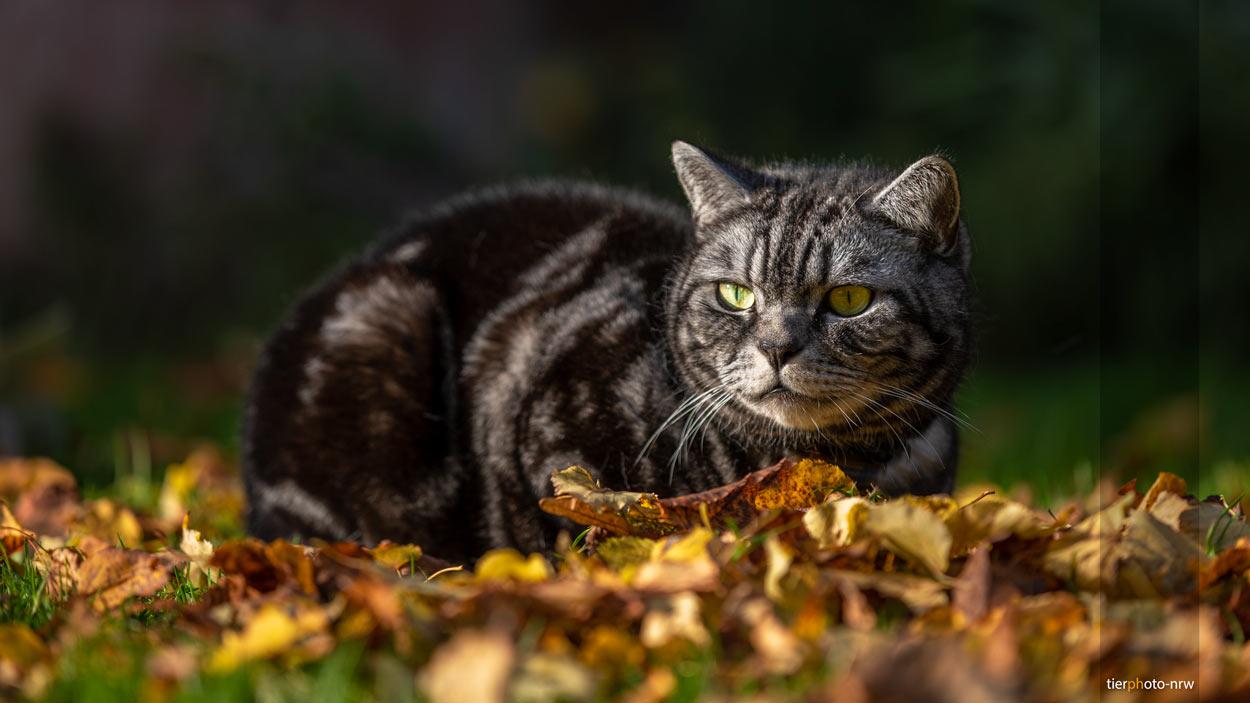 Kater im Herbstlaub