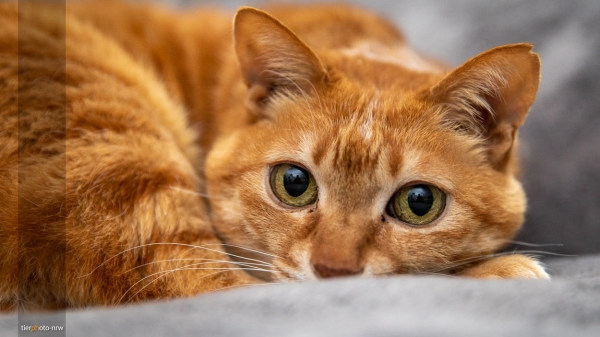 Tierfotograf Kater rot