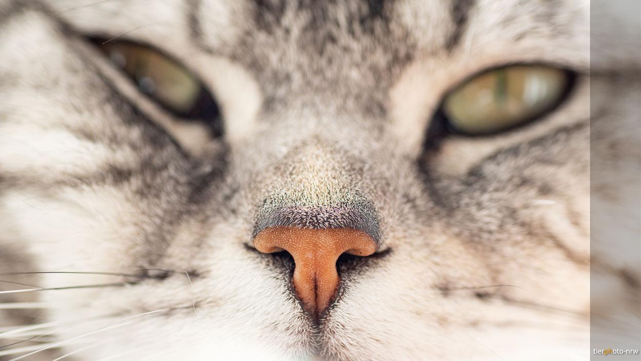 Katze Nase Nahaufnahme