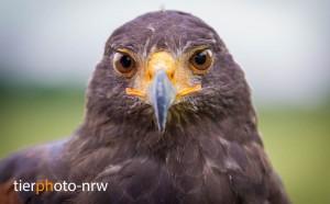 Adler-Bussard-Tierfotograf-Essen-IMG 7551-1