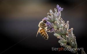 Biene-an-Blume-Tierfotograf-Muenster-MA4 8133-1