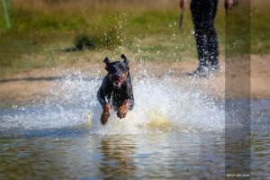 Dobermann-Hund-sprintet-durch-Wasser-Tierfotograf-MA4 2719-1