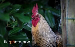 Hahn-gefluegel-tierfotograf-MA4 6659-1