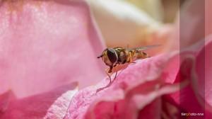 Insekt-Makro-Rose-MA4 5634-1