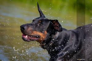 Tierfotograf-Dobermann-Wassertropfen-MA4 2614-1